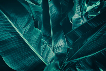 Background of dark green, large leaves.